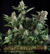 Pyramid Auto White Widow feminized indica high strength Weed seeds